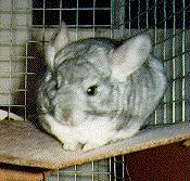 Chinchilla!